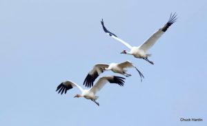 Whooping Crane Update