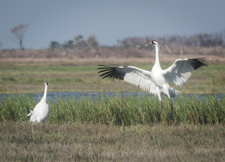 E Crane Rockport Tx Friends of the Wild Wh...