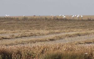 whooping crane fall migration
